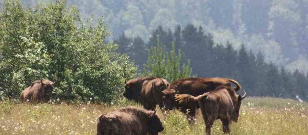 Cultural appreciation is helping protect the bison