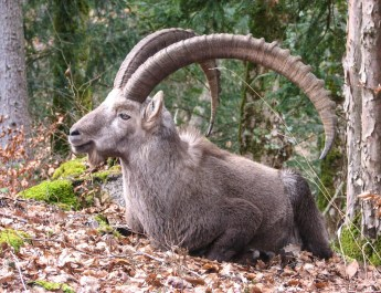 Pyrean WIld Goat © Wikipedia.jpg - © European Wilderness Society CC BY-NC-ND 4.0