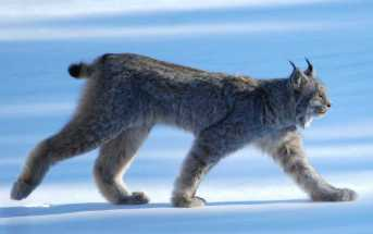 Luchse im Bayerischen Wald getötet