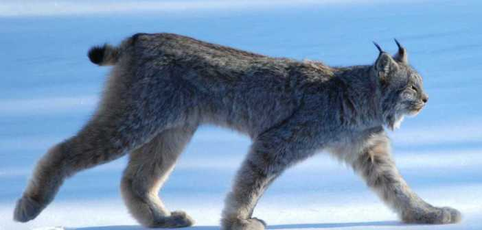 Another dead lynx found in Germany