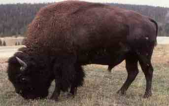 Bison: Slaughtering the icon of Yellowstone