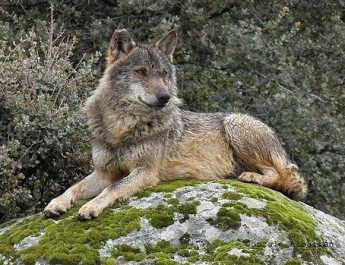 Wolf tourism continued.....
