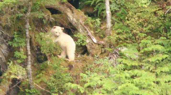An environmental Milestone - Home of the rare Spirit Bear saved!
