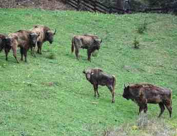 bison-in-vanatori-neamt-nature-park
