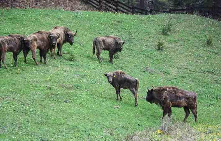 Bison in Vanatori Neamt Nature Park