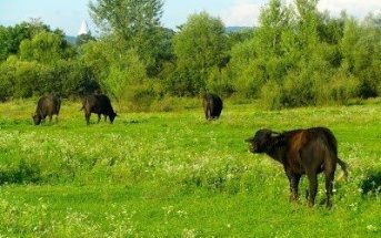 Buffalo in Ukraine: a good example of sustainable tourism