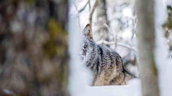 Grauwolf-hinter-Baumstammc-Wild-Wonders-of-Europe_Sergey-Gorshkov_WWF-1