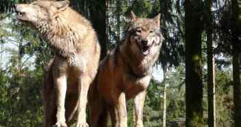 Significant majority of Austrians welcome the return of the wolf