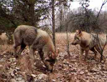 Should we worry about Chernobyl wolves?