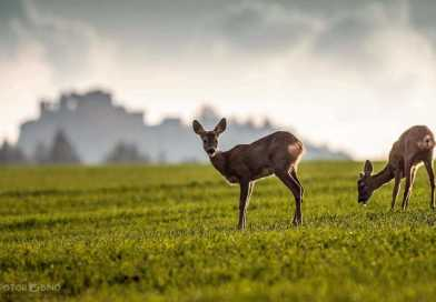 Predator problem: Britain's burgeoning deer population