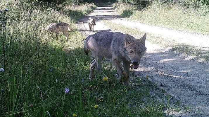Wolves in Allentsteig
