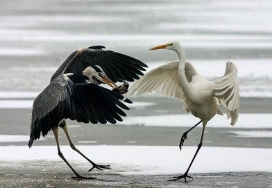 Danube_Parks_1061_bence_mt_water_birds_in_winter.jpg - © Danube Parks All Rights Reserved