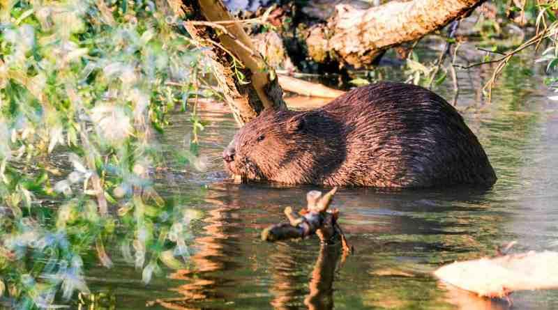 Danube_Parks_1121_7113_4_Fauna_Sugetiere_BiberKern.jpg - © Danube Parks CC BY-NC-ND 4.0