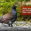 Save the Western Capercaillie - Juraj Ziak