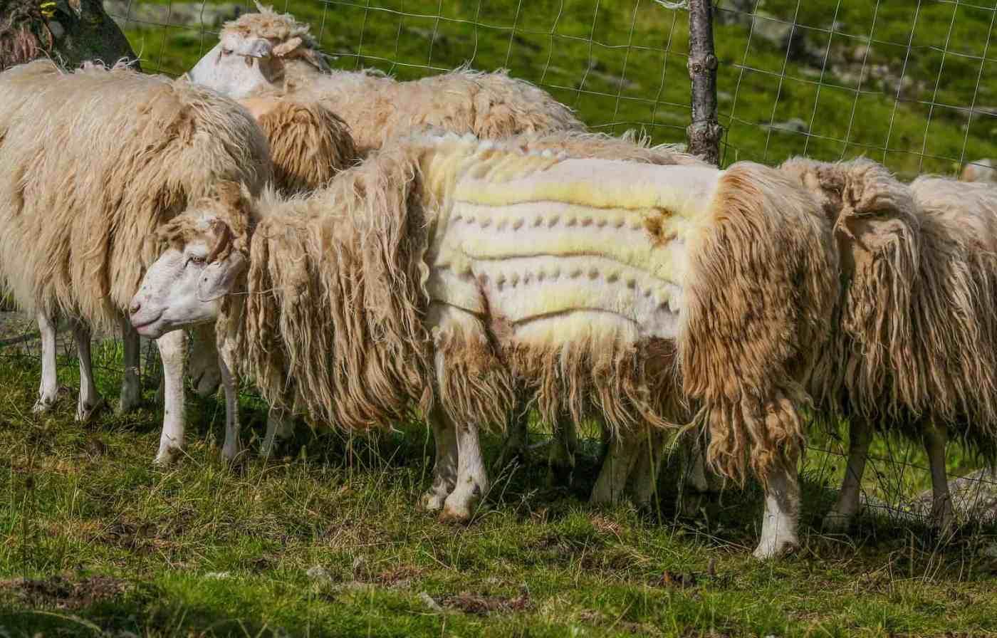 Albania, Cutting hair of the sheeps can be an art_.jpg - © European Wilderness Society CC BY-NC-ND 4.0