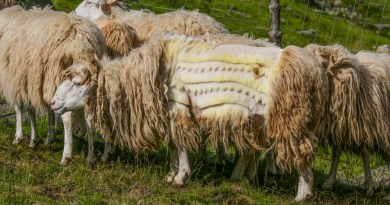 Albania, Cutting hair of the sheeps can be an art_.jpg - © European Wilderness Society CC BY-NC-ND 4.0