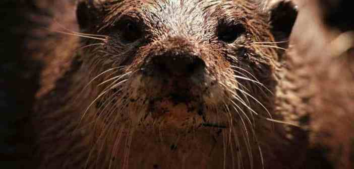 Europe and its protected species – Austria allows killing of the fish otter.