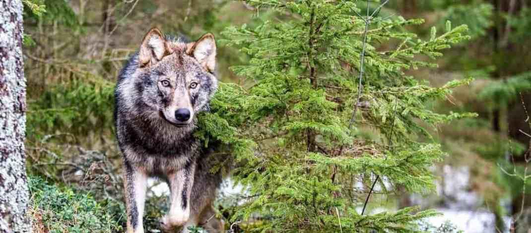 Will Slovakia continue wolf killing?