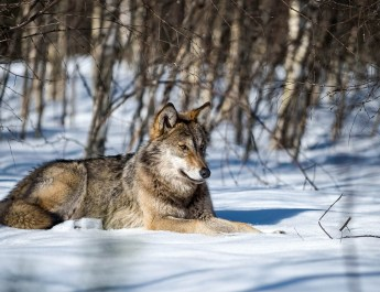 EWS - Wolves WWF -00165_.jpg-© Wild Wonders of Europe /Sergey Gorshkov / WWF