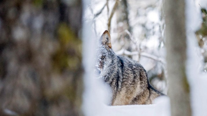 Wolf - © All rights reserved