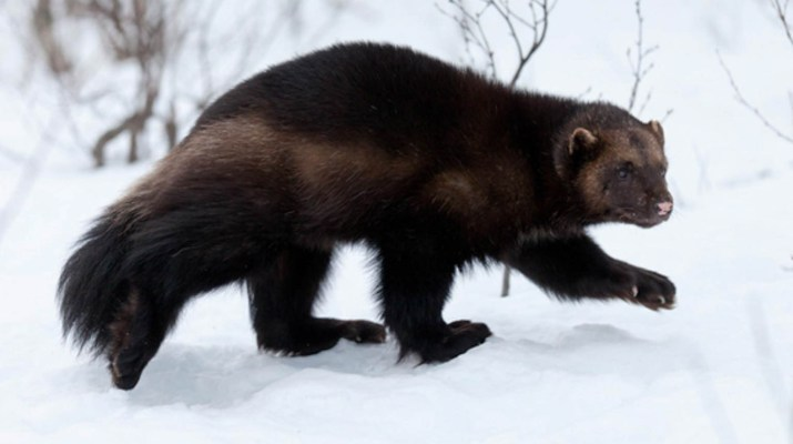 Wolverine © All rights reserved