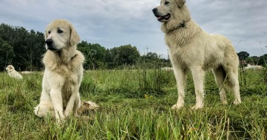 Herd protection dogs 0081.JPG - © European Wilderness Society CC BY-NC-ND 4.0