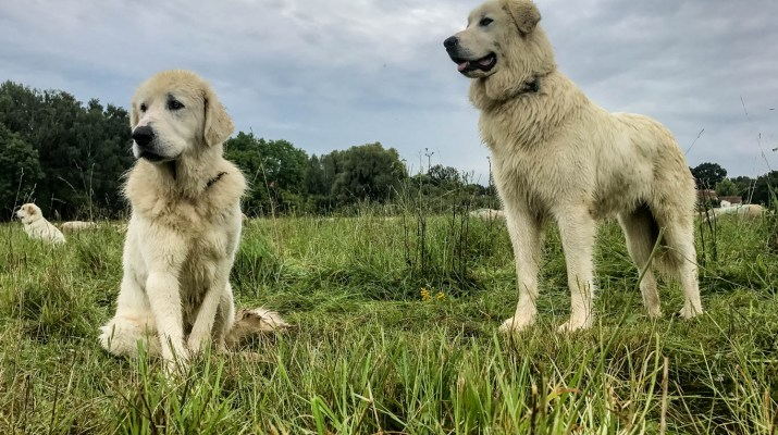 EWS - Herd protection dogs -06283_