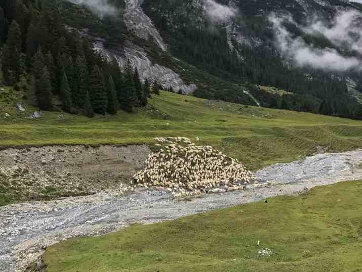 EWS - Sheep Herd Management -06862_