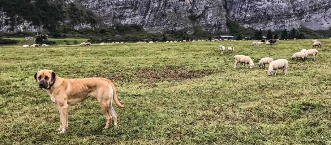 Switzerland pioneer in the use of social livestock guard dogs