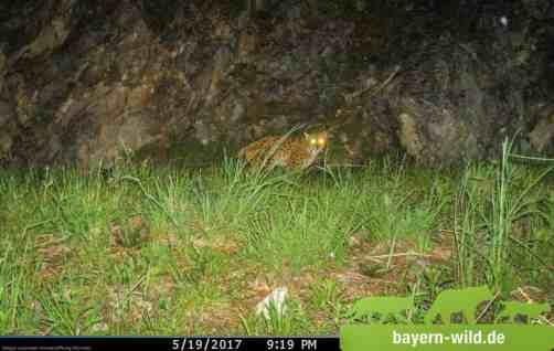Gregor Louisoder Umweltstiftung Lynx Monitoring 0004