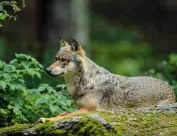 Wolf_Calanda