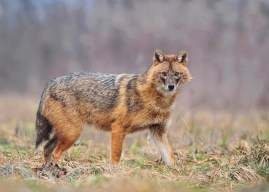 First golden jackals arrived in France