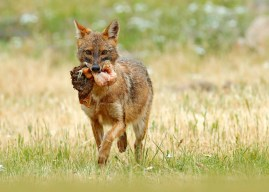 Exclusive interview with a golden jackal