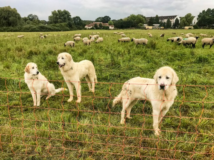 Herd protection dogs