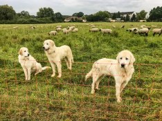 EWS - Herd protection dogs -06277_