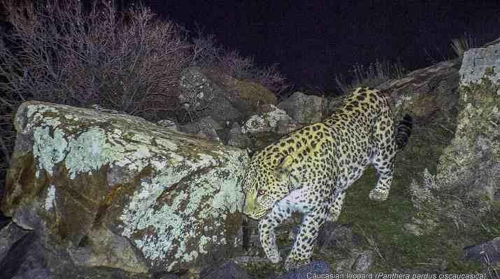 EWS - Snow Leopard -13074_