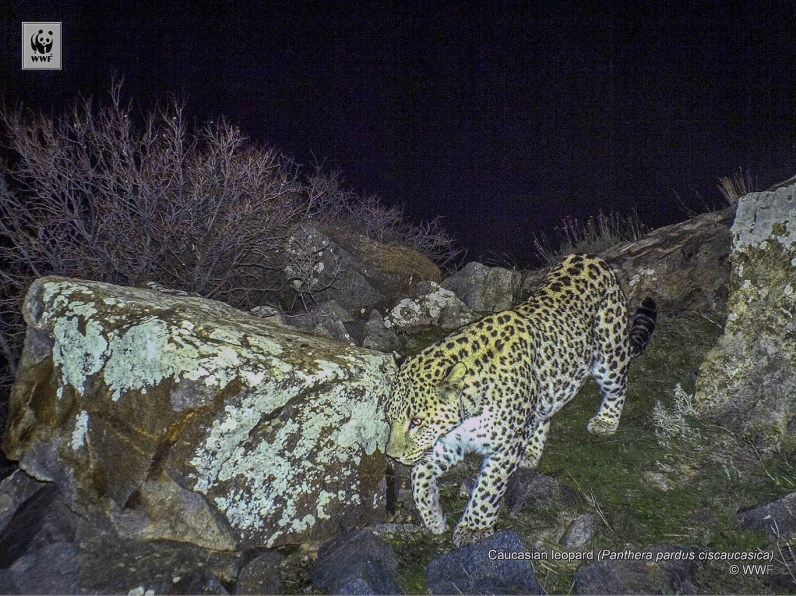 4 Leopard in Caucasus.jpg - © European Wilderness Society CC BY-NC-ND 4.0