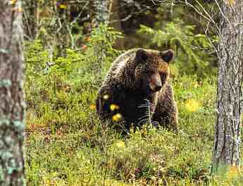 Wilderness_bear_fnp_leifostergren.jpg - European Wilderness Society - CC NonCommercial-NoDerivates 4.0 International