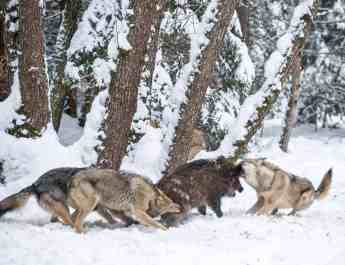 Wolves WWF - © All rights reserved