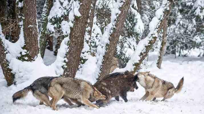 EWS - Wolves WWF -00218_