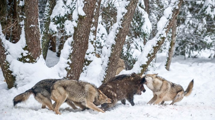 EWS - Wolves WWF -00218_.jpg-© Wild Wonders of Europe /Sergey Gorshkov / WWF