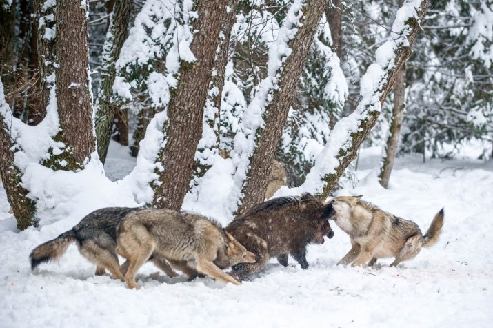 Wolves replace hunters in Nationalpark Sumava
