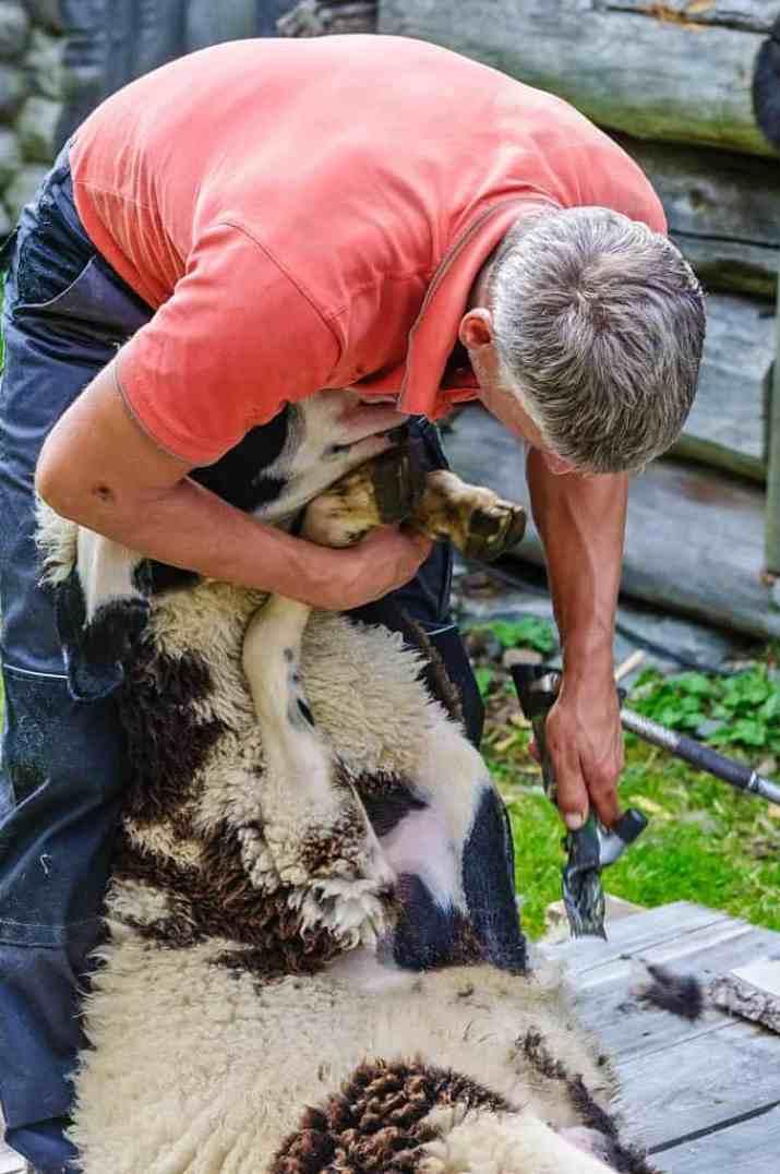 Sheep Herdmanagement-14560