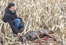 Wolf hunting Spain-14501