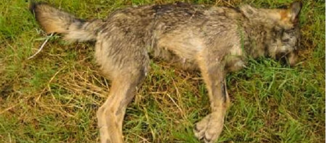 Spanish court declares wolf hunting illegal