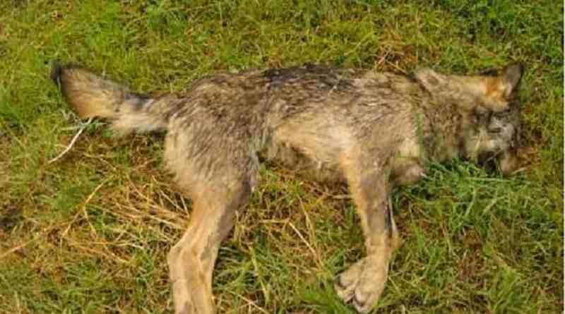 Wolf hunting Spain-14504.jpg - © CC BY-NC-ND 4.0