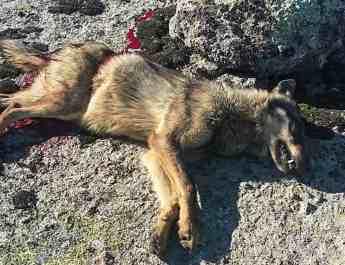 Wolf hunting Spain-14516.jpg - European Wilderness Society - CC NonCommercial-NoDerivates 4.0 International