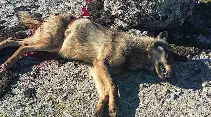 Wolf hunting Spain-14516.jpg - © CC BY-NC-ND 4.0