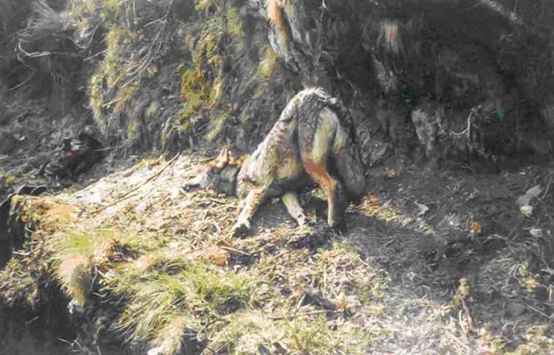 Wolf hunting Spain