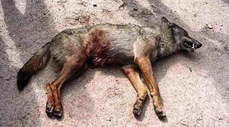 Wolf hunting Spain-14526.jpg - © CC BY-NC-ND 4.0